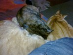Happier days - 3 cats snuggling. FL: Ginghis Cat, Funnyface and Tiggles