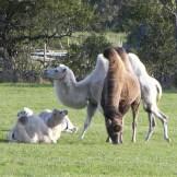 Kamele-Oeland-3