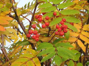 Rowanberries.