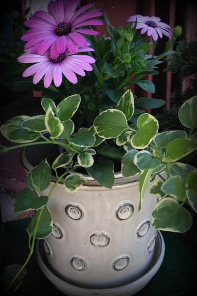 daisies2