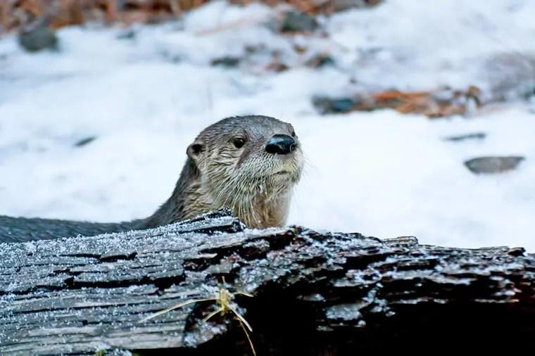 Otter, Portree, Skye