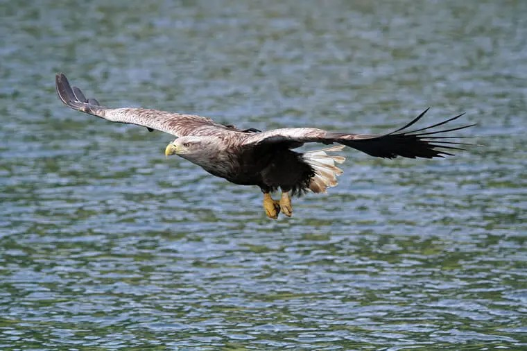 White Tailed Sea Eagle as seen in Portree near Skye Self Catering