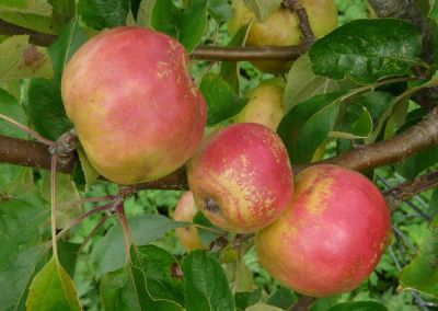 Autumn tips:  Fruit trees and bushes