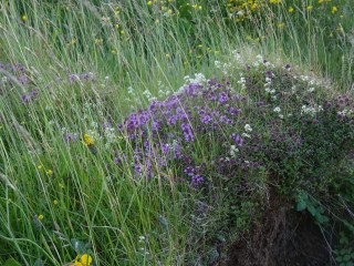 thyme and heath bedstraw