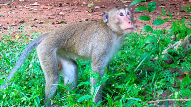 Monkeys in Angkor Wat