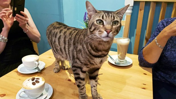 Bengal at Cat Cafe