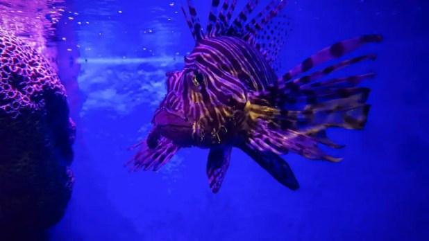 Lionfish at Ocean World