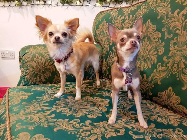 Gatsby and Elsa at the Chihuahua Cafe