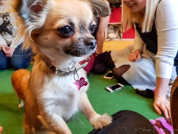 Cleopatra at the Chihuahua Cafe