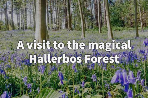 Hallerbos forest with kids