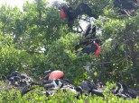 Male frigate birds