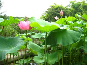 Lotus flowers in the Kong Family Palace's gardens