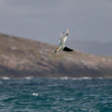 Gannets1
