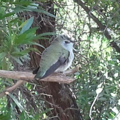 Hummingbird at Tohono Chul