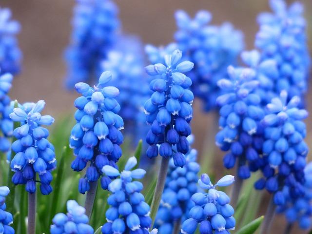 blue Hyacinthus