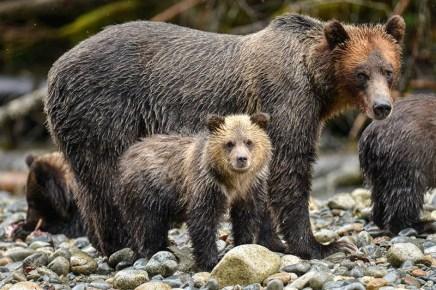 Grizzly - Tofino - Canada