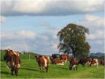 Cows in field (1)