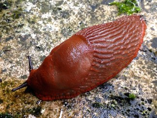 This is one of the biggest, most colorful slugs I have ever seen