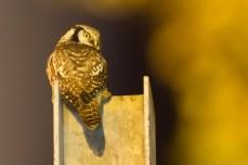 In dit moment dacht ik even dat de vogel zou vliegen maar gelukkig bleef hij nog even zitten. Natuurlijk ook weer een foto van Jaap Denee.
