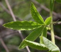 Cyphostemma cirrhosum