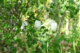 white tulips]