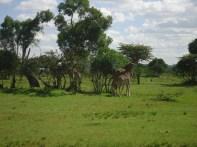 Giraffe walking near our huts.