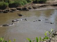 Hippos on the Safari.