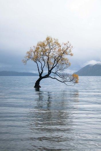 Tree in the lake in Wanaka