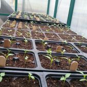 Pepper seedlings from Earth First Eco-Farms