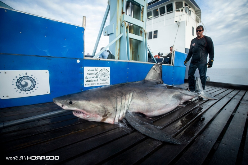 10-foot great white shark tracked off Atlantic City, 2 more spotted off Long Island
