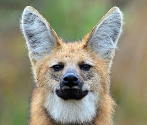 Maned wolf with tall ears
