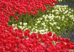 Colorful Tulips in Gülhane Parkı