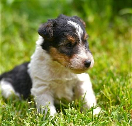 Cucciolo di Fox terrier a pelo ruvido