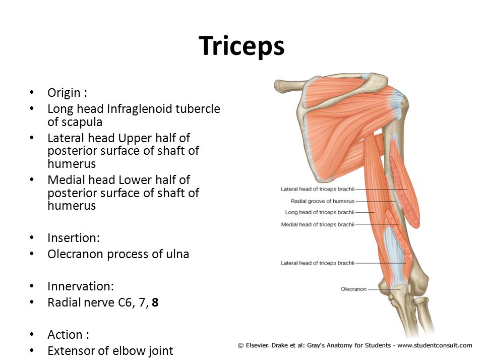 Long Head Tricep Muscle