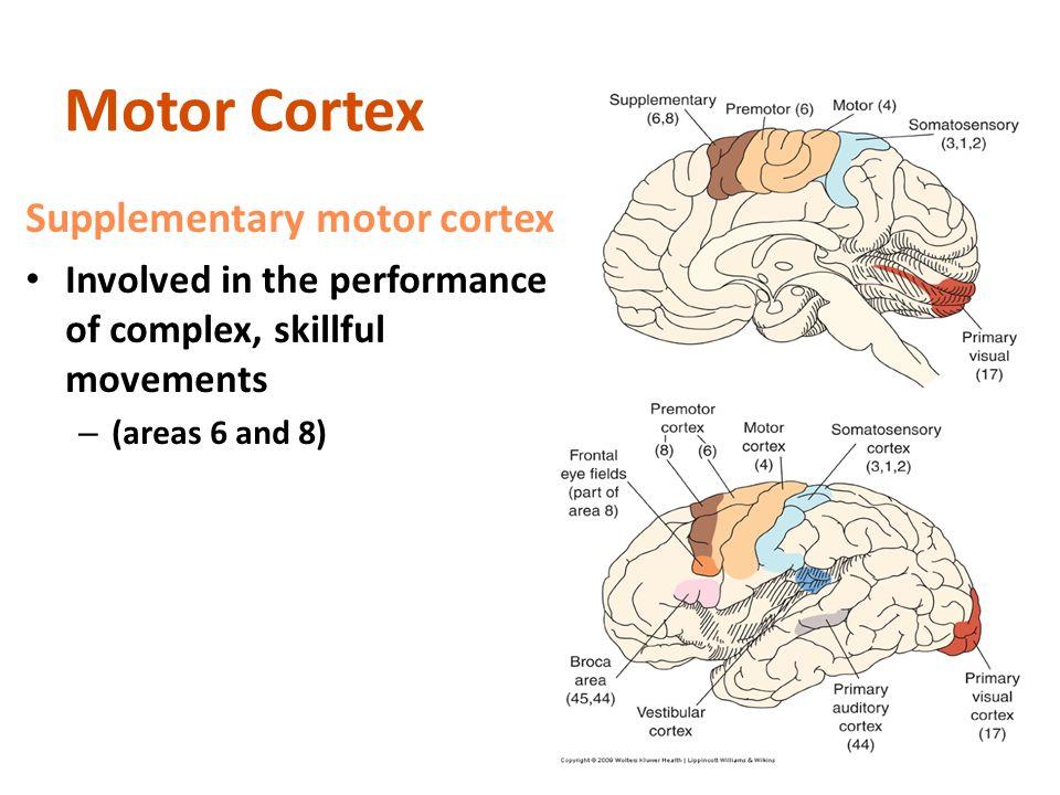 Supplementary Motor Cortex Homunculus | Newmotorspot.co