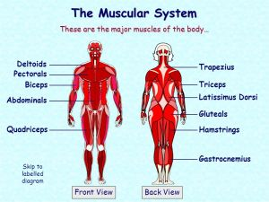 The Muscular System These are the major muscles of the