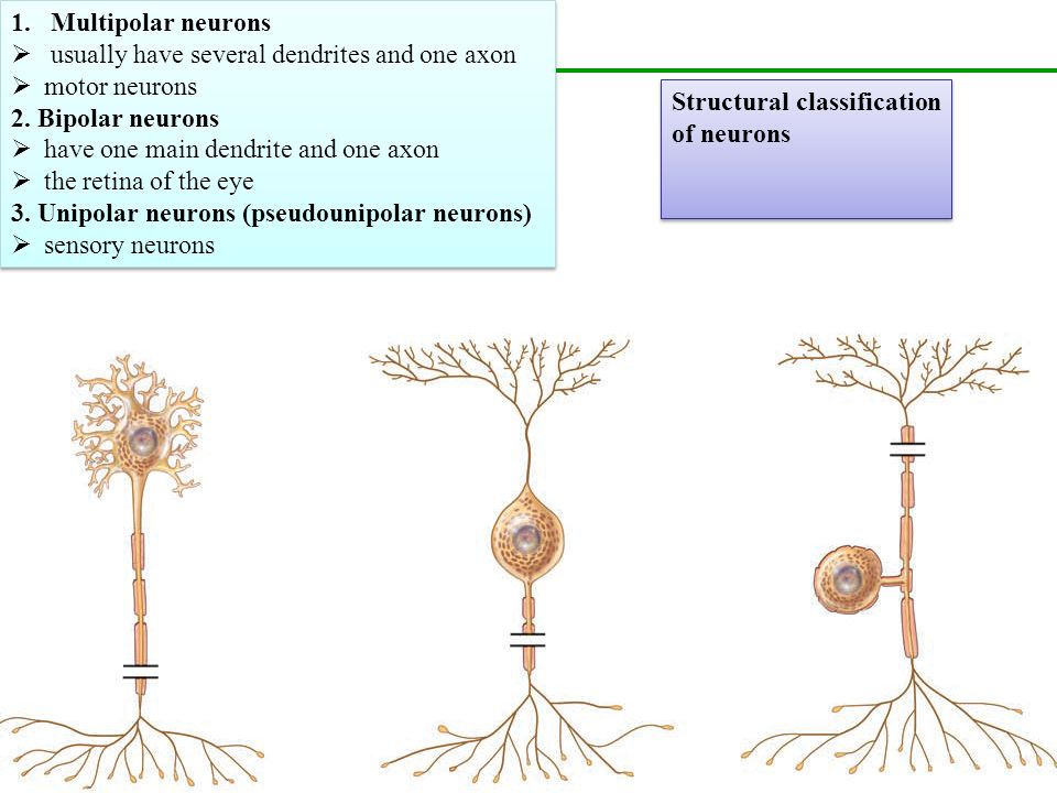 Multipolar Motor Neuron Worksheet Newmotorspot