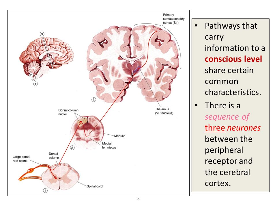 Tactile Cell Nerve Pathways