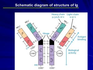 Immunoglobulins Structure  ppt video online download