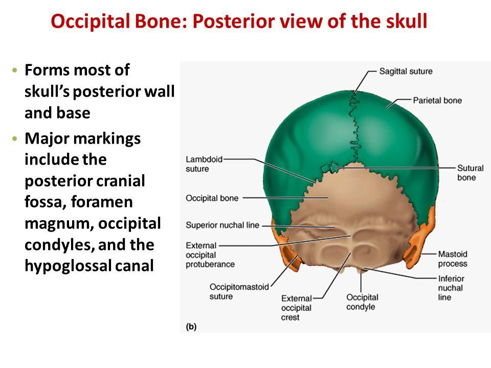 Posterior Cranial Fossa Bones