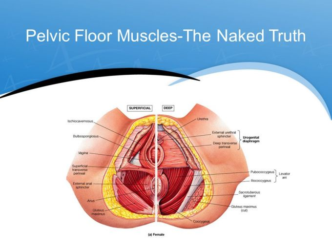 Pelvic Floor Muscles Anatomy Ppt Wikizie