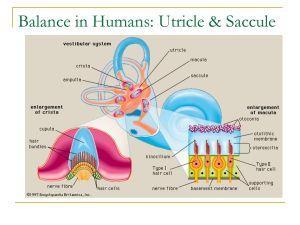 Sensory and Motor Mechanisms  ppt download