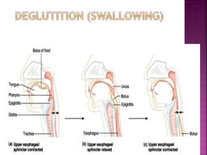 Anatomy and Physiology of Normal Deglutition  ppt video online download