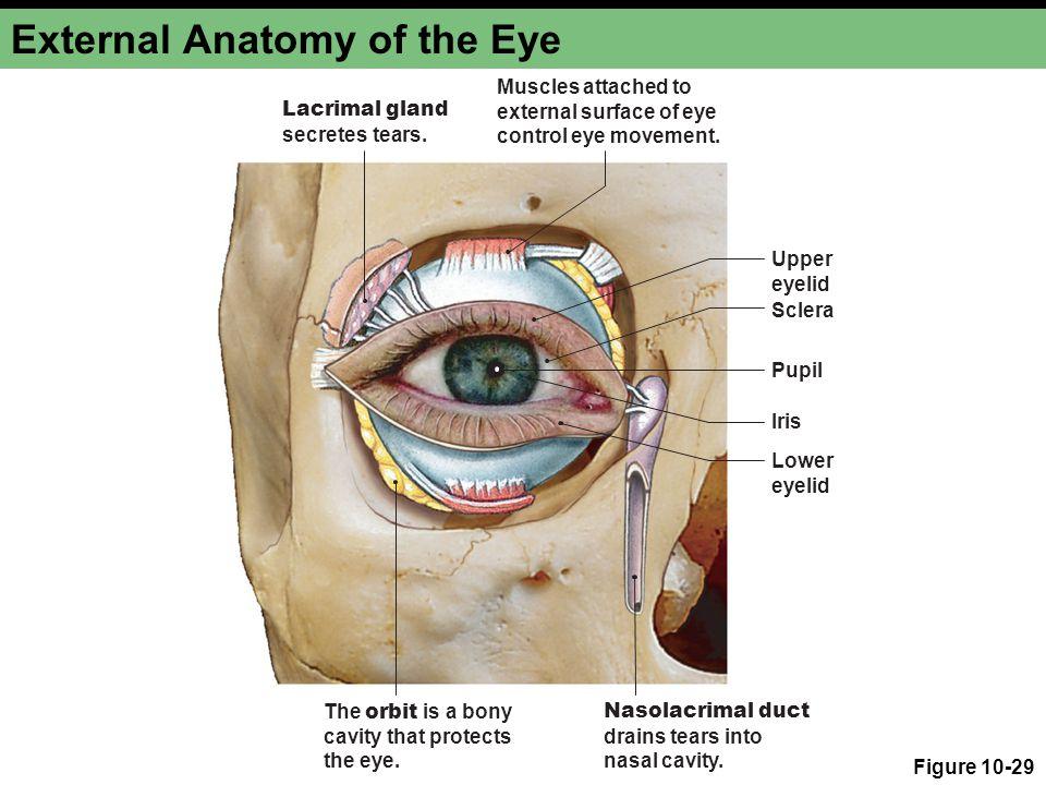 External Eyelid Anatomy