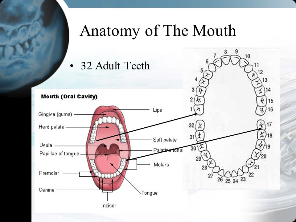 Outstanding Maxillary First Molar Occlusal Anatomy Motif - Anatomy ...