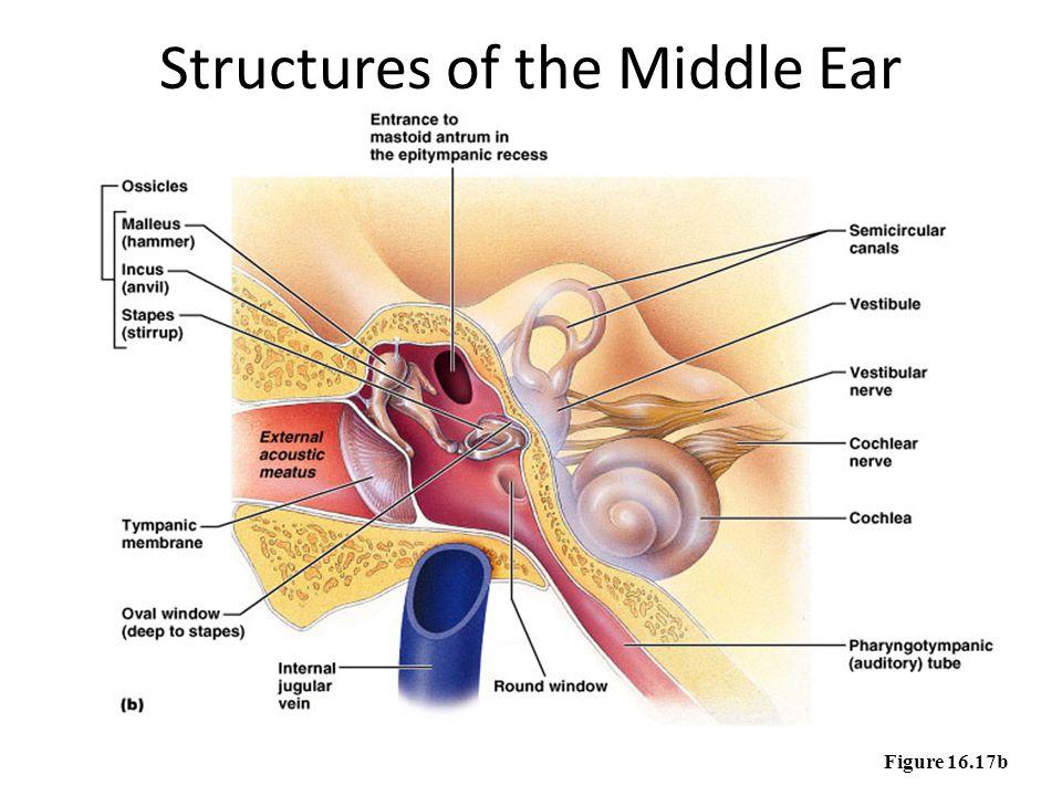 Outside Human Ear Drawing