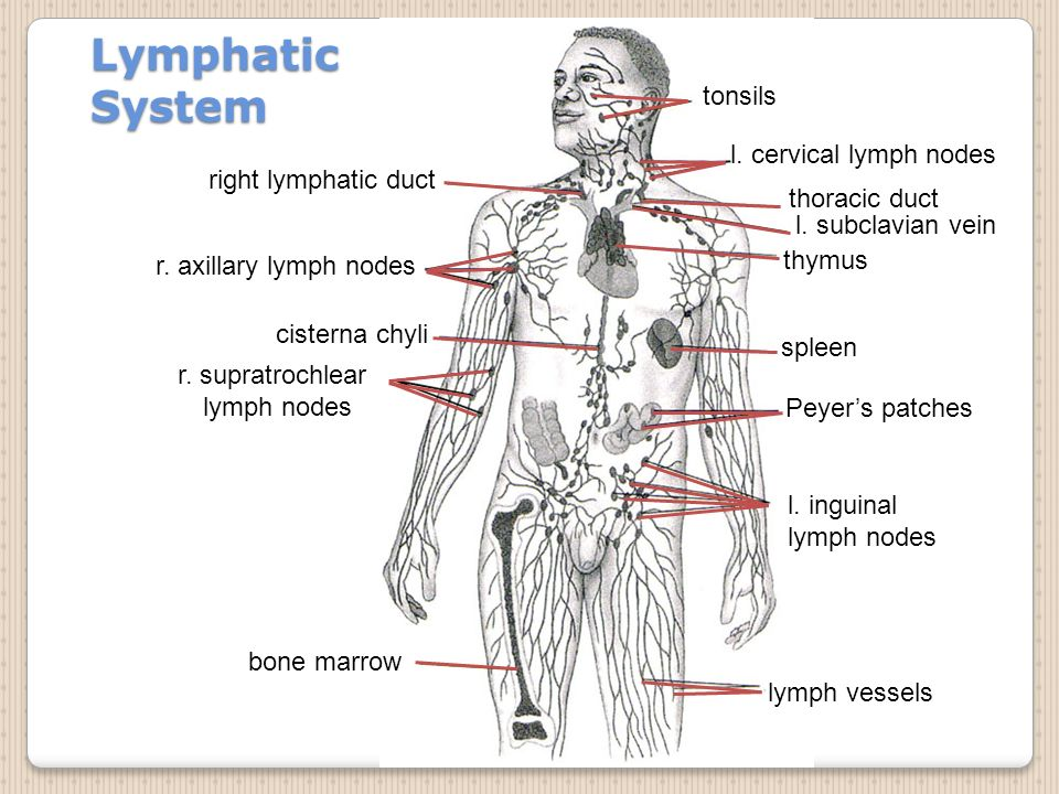 The Role Of Thymus Gland