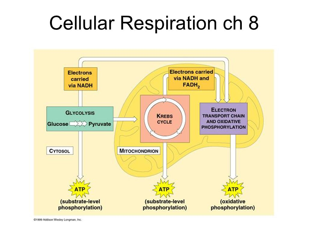 Worksheets Cellular Respiration Diagram Worksheet