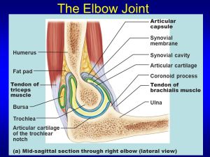 Joints & Joint Movements  ppt video online download