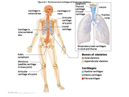 Human anatomy and physiology quizlet chapter 6 periodic diagrams lecture 5 chapter 6 bones and skeletal tissues ppt online ccuart Images